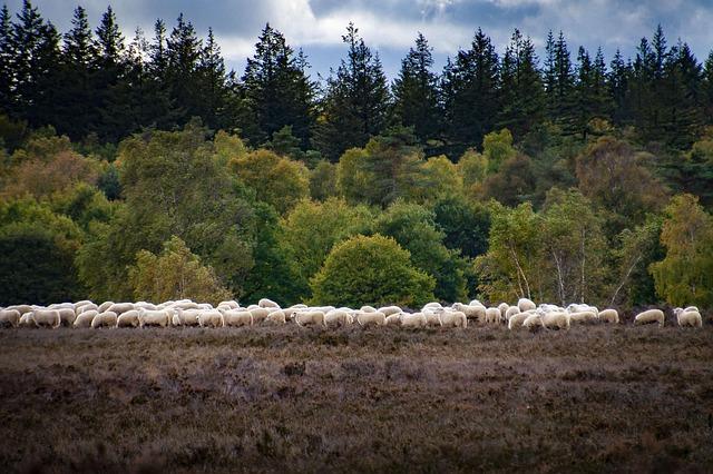 sheep-4526255_640